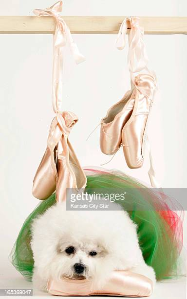 David Pulliam color photo illustration of a bichon frise with tutu and ballet slippers for the ninth day of the 12 days of Christmas nine ladies...
