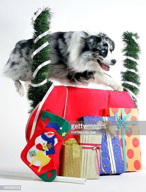 David Pulliam color photo illustration of a border collie clearing a holiday hurdle lined with presents for the 10th day of the 12 days of Christmas...