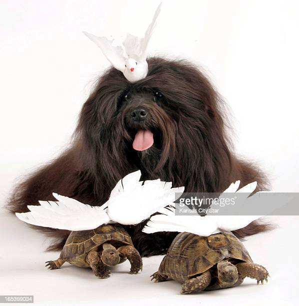 David Pulliam color photo illustration of a Havanese with two winged turtle doves for the second day of the 12 days of Christmas
