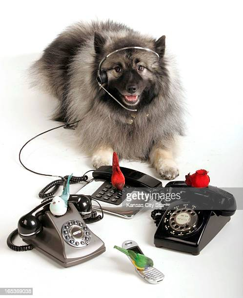 David Pulliam color photo illustration of a keeshond wearing headset with four calling birds perched on telephones for the fourth day of the 12 days...