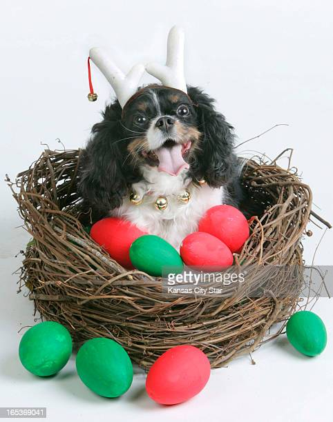 David Pulliam color photo illustration of a King Charles spaniel sitting in goose nest full of red and green eggs for the sixth day of the 12 days of...