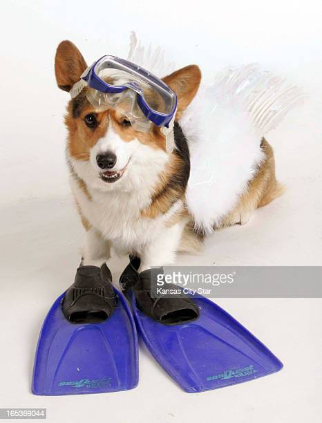 David Pulliam color photo illustration of a Welsh corgi wearing wings and snorkel gear for the seventh day of the 12 days of Christmas seven swans...