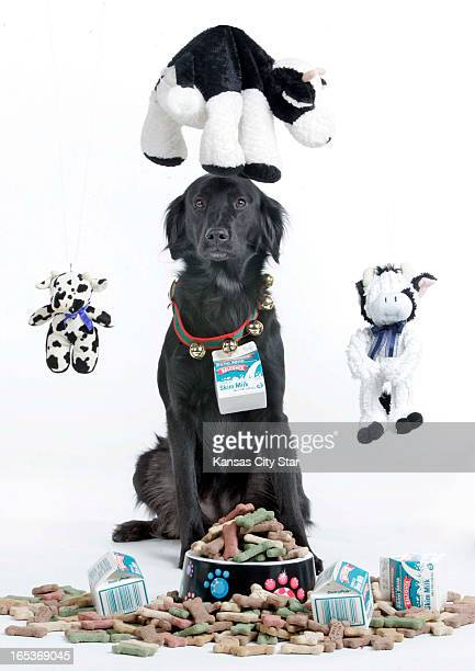 David Pulliam color photo illustration of black dog surrounded by toy cows milk cartons and milkbone treats for the eighth day of the 12 days...