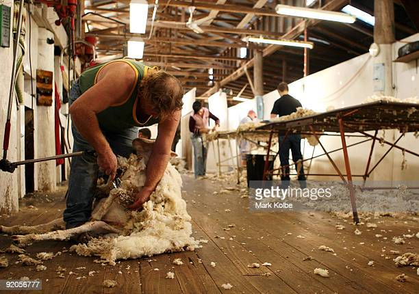 David Rowbottom shears a sheep during spring shearing at Cherry Hill Pastoral Company property on October 19 2009 in Uralla Australia Shearing in...