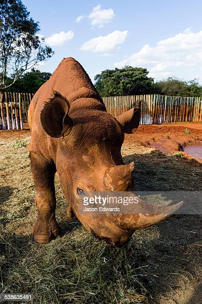 A blind and orphaned Black Rhinoceros feeding on hay in a wildlife rescue centre.