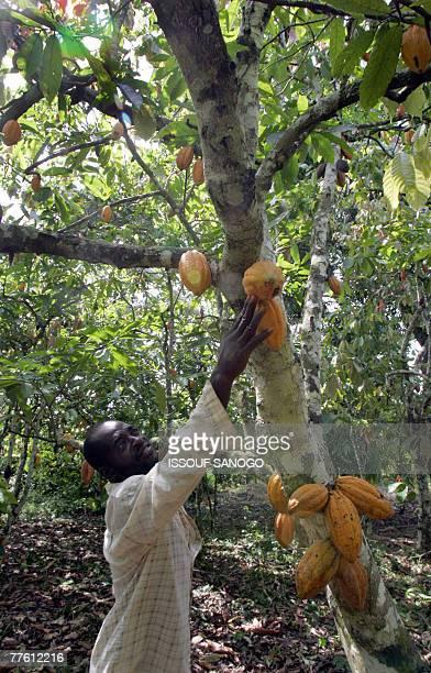 David YOUANT A plantation owner checks his cocoa trees in the southwestern Ivorian village of Godilehiri 01 November 2007 near Divo where cocoa and...