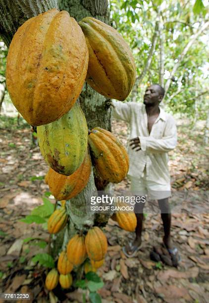 David YOUANT A plantation owner checks his cocoa trees in the southwestern Ivorian village of Godilehiri 01 November 2007 near Divo where cocoa and...