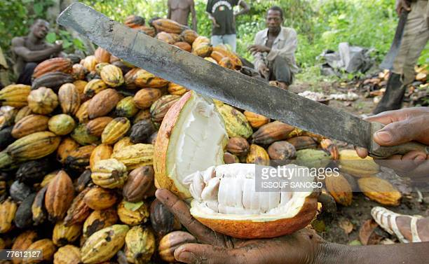 David YOUANT Workers cut cocoa in the southwestern Ivorian village of Godilehiri 01 November 2007 near Divo where cocoa and coffee plantation farmers...