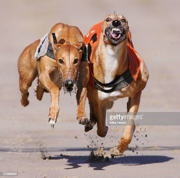 Davlyn Alma wins from She Bo Lochin during the first race at the Brighton and Hove greyhound stadium on October 6 2004 in Brighton England