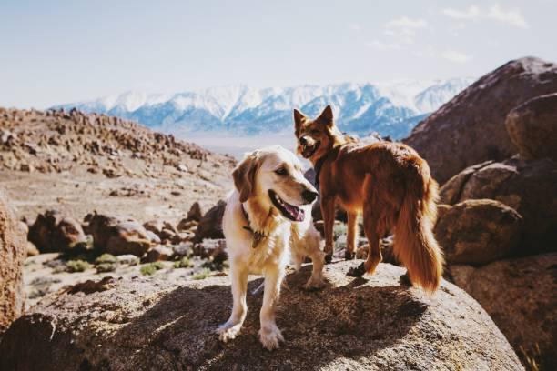 dawgs in the desert