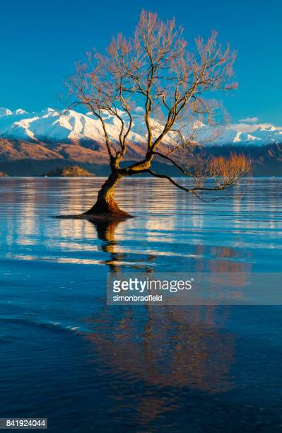 Dawn And The Tree At Lake Wanaka In New Zealand