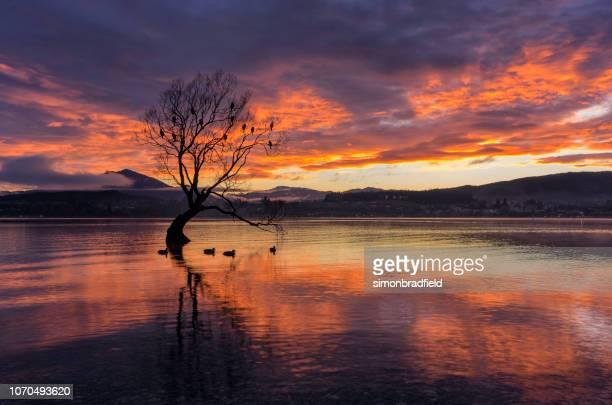 dawn e a árvore no lago wanaka, nova zelândia - lago wanaka - fotografias e filmes do acervo