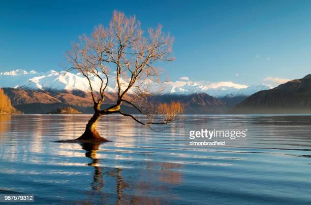 dawn e a árvore no lago wanaka, nova zelândia - wanaka - fotografias e filmes do acervo