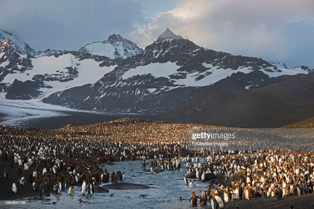 Dawn at King Penguin,, Aptenodytes patagonicus,, rookery at St Andrews Bay, South Georgia : News Photo