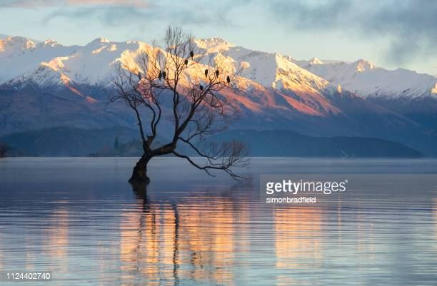 dawn at lake wanaka's famous tree - international landmark stock pictures, royalty-free photos & images