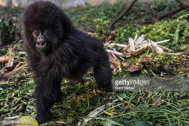 Dawn at Senkekwe Mountain Gorilla Orphanage with a new orphan mountain gorilla named Ihirwe at ICCN headquarters Rumangabo DRC 7 August 2013 It is...