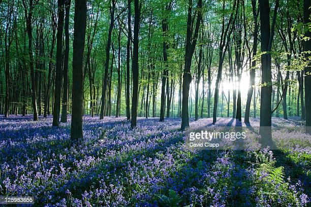 dawn forest light over a carpet of bluebells at micheldever forest, hampshire, england - bluebell wood stock pictures, royalty-free photos & images