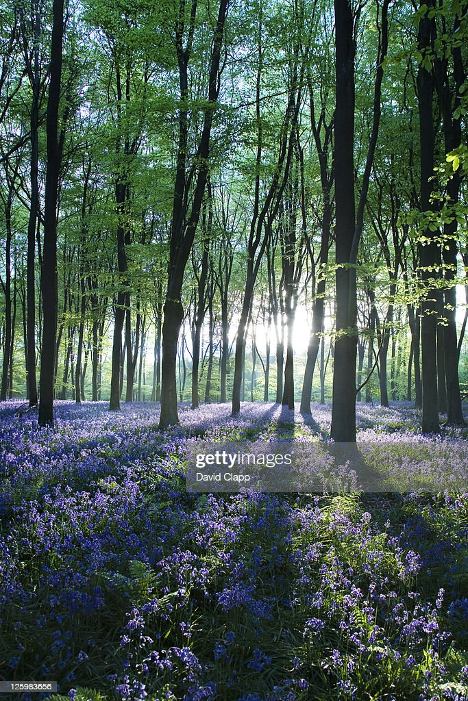 Dawn forest light over a carpet of bluebells at Micheldever Forest, Hampshire, England : Foto de stock