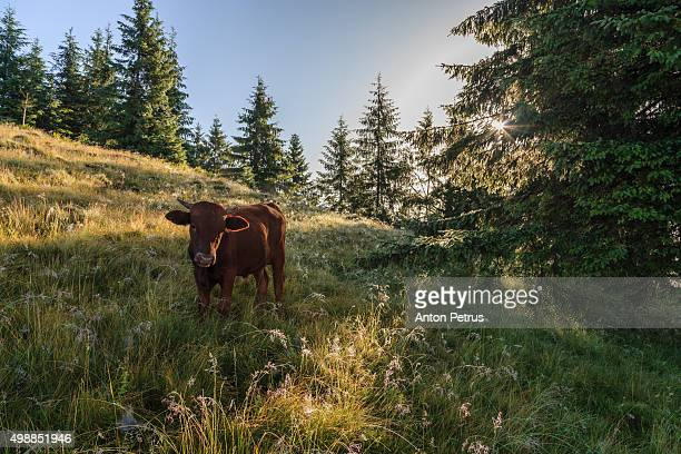 dawn in a farm in the mountains - anton petrus stock pictures, royalty-free photos & images