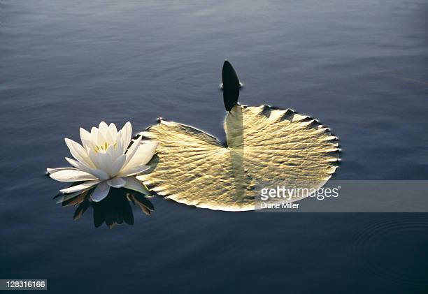 Dawn light reflecting on lily and lily pads. Caddo Lake, TeXas, tx, 10-02, lily, lily pad, white, flower, water, nature