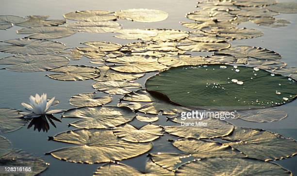 Dawn light reflecting on lily pads, shot at Caddo Lake, TX 10-02.
