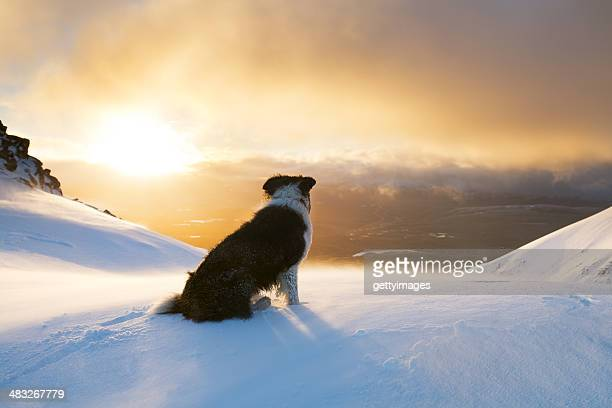 Dawn of the Collies
