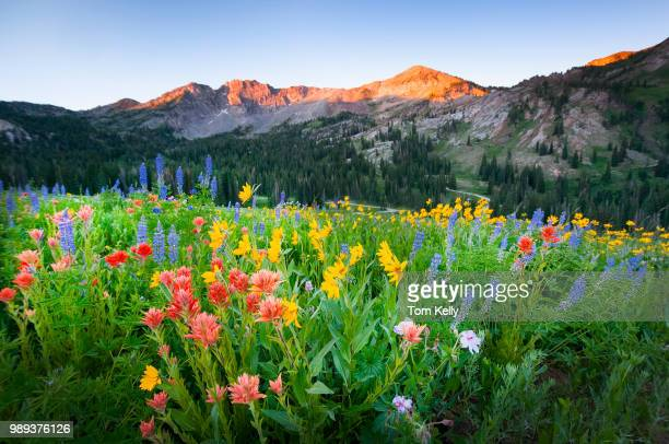 dawn on the wildflowers - wild flowers stock pictures, royalty-free photos & images