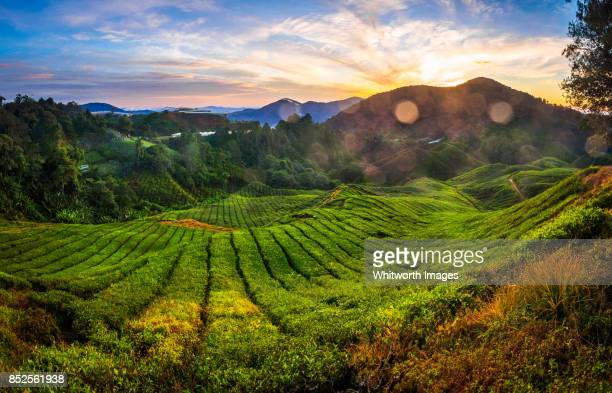 dawn over tea plantations in cameron highlands, malaysia - camellia sinensis stock photos and pictures
