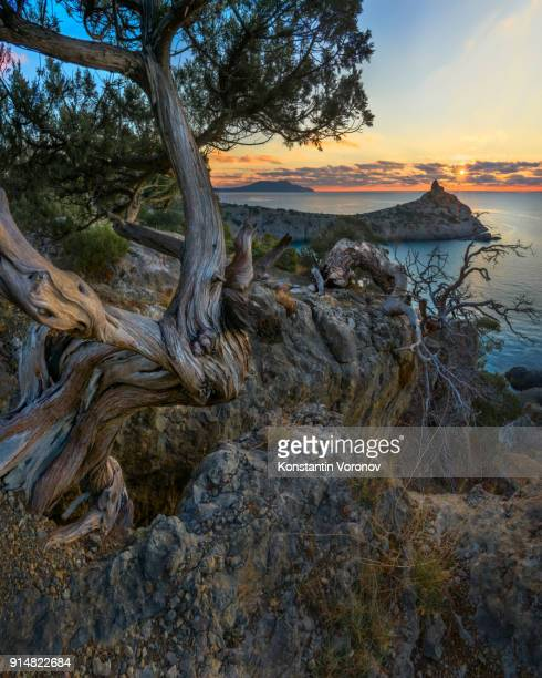 Dawn over the sea. Landscape with the sun. In the foreground is an old bent tree. 'Noviy Svet' wildlife preserve, Crimea