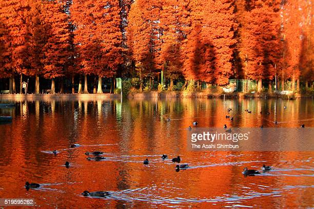Dawn redwood of the Besshonuma Pond are in autumn colours on November 27 2002 in Saitama Japan