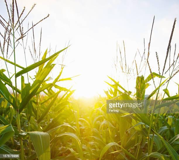 Dawn Sonne durch ein cornfield
