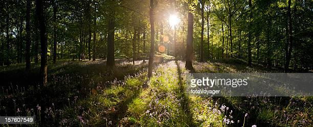 Dawn Sonnenlicht ausgestellten durch die idyllische Wildnis forest lebhaften Sommer-panorama