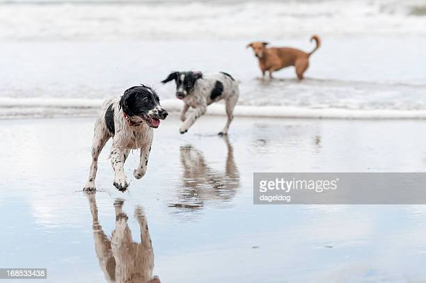 day at the beach - springer spaniel stock photos and pictures