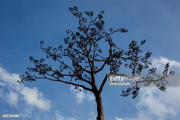 A day before the 4th anniversary of the Great Eastern Earthquake and Tsunami the fake branches of the miracle tree are seen on March 10 2015 in...