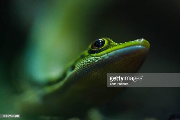 day gecko - geco foto e immagini stock