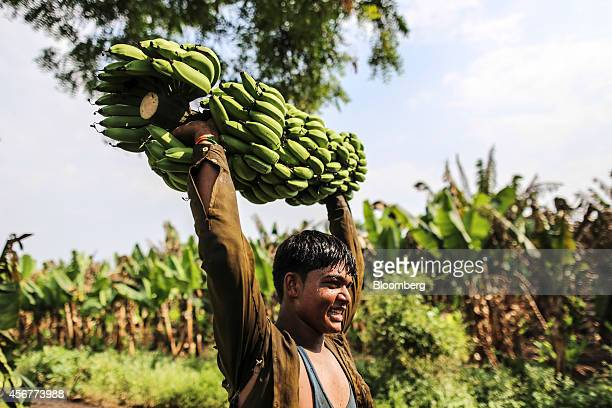 A day laborer carries a banana stem to a truck during a harvest in Bhusawal Maharashtra India on Saturday Oct 4 2014 More than 75 percent of India...