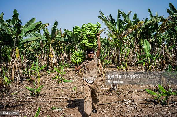 A day laborer carries bananas during a harvest in a field in the district of Burhanpur Madhya Pradesh India on Friday Oct 19 2012 India is the...