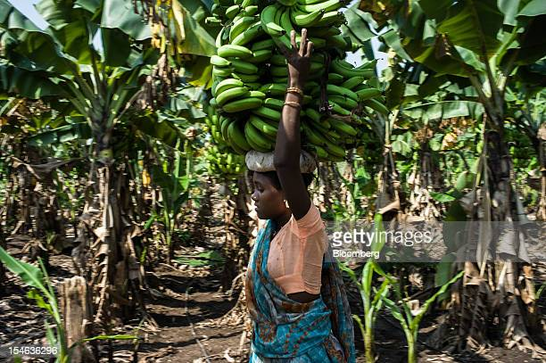 A day laborer carries bananas on her head during a harvest in a field in the district of Burhanpur Madhya Pradesh India on Friday Oct 19 2012 India...