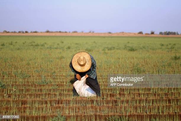 A day laborer harvests chives at a field in the Mexicali Valley Baja California state Mexico alongside the MexicoUS border on August 10 2017 The...