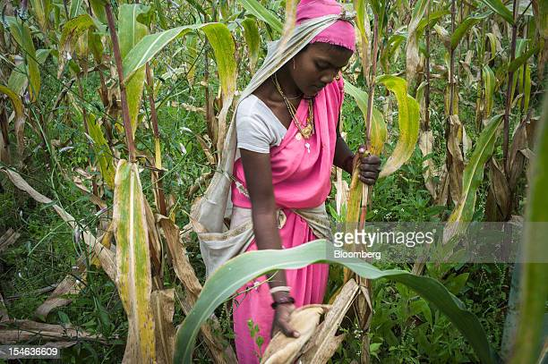 A day laborer harvests corn in a field in the district of Burhanpur Madhya Pradesh India on Thursday Oct 18 2012 India is Asia's biggest grower of...
