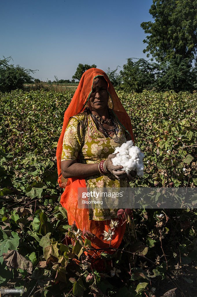 A day laborer holding harvested cotton stands for a photograph on a farm in Umaid Nagar, Rajasthan, India, on Monday, Oct. 29, 2012. Cotton shipments from India, the world's second-largest grower, are set to tumble, forcing the government to make record purchases to stem a slide in prices. Photographer: Sanjit Das/Bloomberg via Getty Images