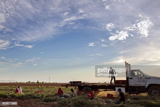 Day laborers harvest chives at a field in the Mexicali Valley Baja California state Mexico alongside the MexicoUS border on August 10 2017 The NAFTA...