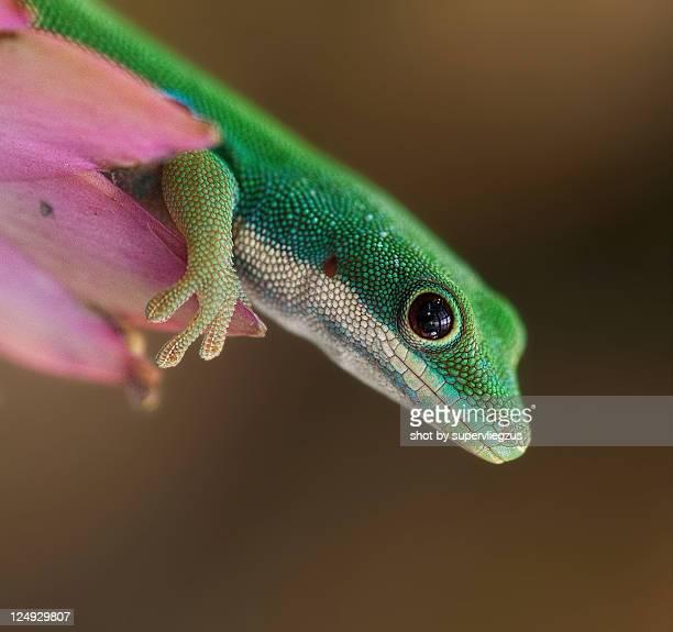 Day leopard gecko on pink flower.