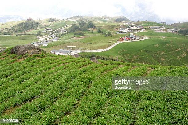 Day lilies are cultivated in Talampo, Hualien county, Taiwan, on Friday, Jan. 18, 2008. The Amis tribe, members of the island's biggest indigenous...