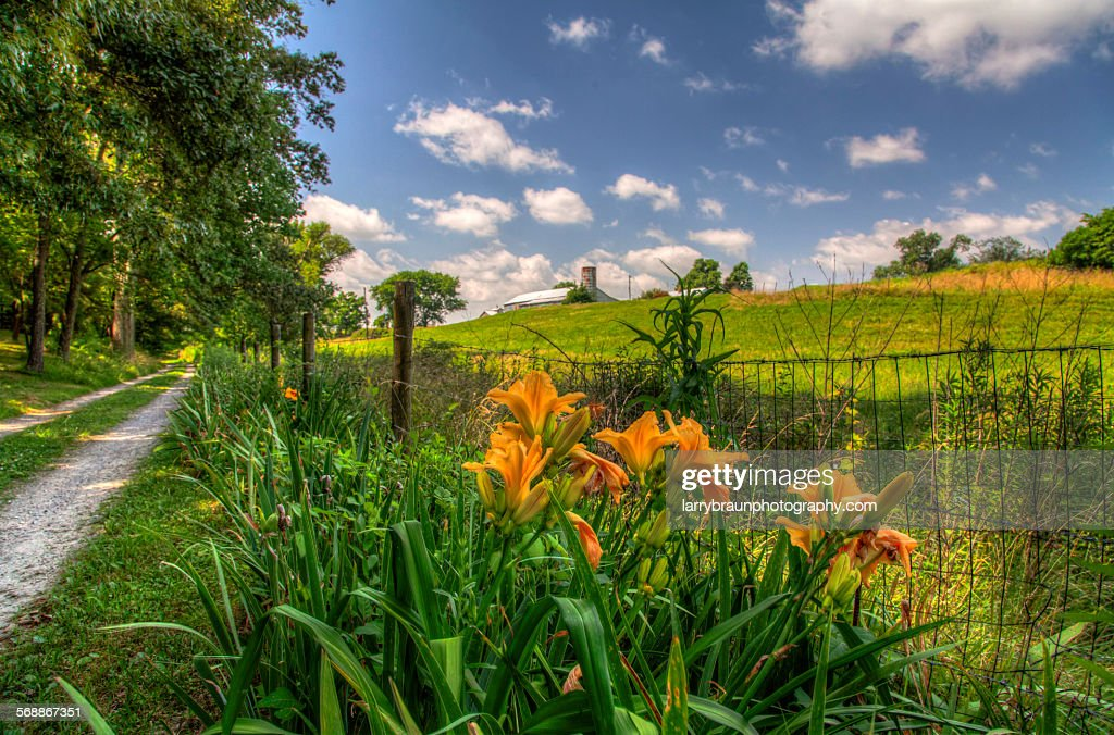 Day Lily by a Gravel Road : Stock Photo