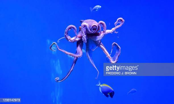 Day octopus, also known as the big blue octopus, found in both the Pacific and Indian Oceans, is seen at the Aquarium of the Pacific in Long Beach,...