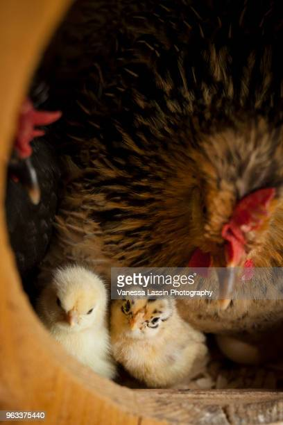 day old chicks - vanessa lassin stock pictures, royalty-free photos & images