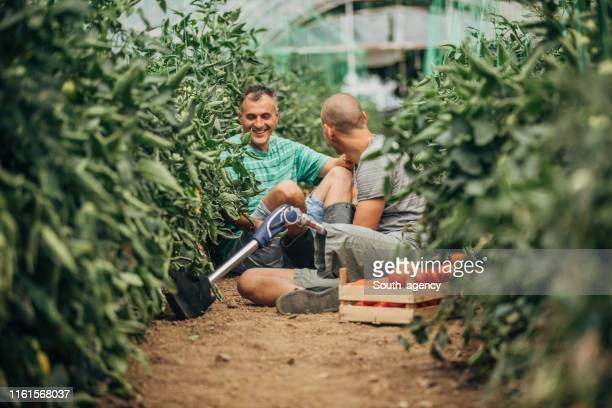 day on tomato farm - season stock pictures, royalty-free photos & images