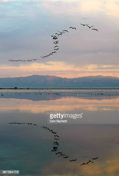 SEA CA A daybreak formation of white pelicans fly low over the Sonny Bono Salton Sea National Wildlife Refuge Sonny Bono in Imperial County CA The...