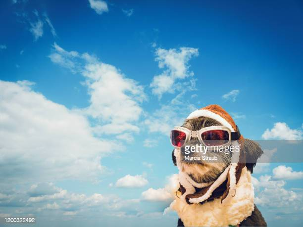 daydreaming dog with aviator goggles and cumulus cloud background - flying goggles stock pictures, royalty-free photos & images